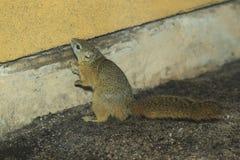 Κίτρινος-πληρωμένος σκίουρος στοκ φωτογραφία με δικαίωμα ελεύθερης χρήσης