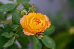 Κίτρινος ρόδινος αυξήθηκε ανθίζοντας στον κήπο στοκ φωτογραφία