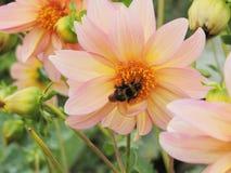 Κίτρινος-ρόδινο λουλούδι με bumblebee Στοκ φωτογραφία με δικαίωμα ελεύθερης χρήσης