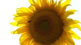 Κίτρινος στενός επάνω ηλίανθων μέσω του οποίου οι ακτίνες ήλιων ` s περνούν Στον ηλίανθο η μέλισσα συλλέγει το νέκταρ απόθεμα βίντεο