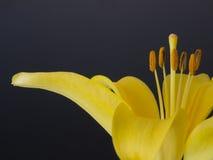 Κίτρινος στενός επάνω κρίνων Στοκ Εικόνες