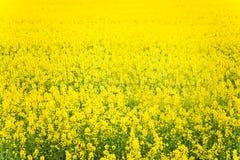 Κίτρινος συναπόσπορος πεδίων Στοκ εικόνα με δικαίωμα ελεύθερης χρήσης