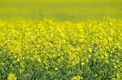 Κίτρινος συναπόσπορος στην άνθιση Στοκ Φωτογραφίες