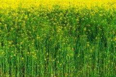 Κίτρινος συναπόσπορος Στοκ εικόνα με δικαίωμα ελεύθερης χρήσης