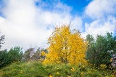 Κίτρινος σφένδαμνος το φθινόπωρο Στοκ φωτογραφίες με δικαίωμα ελεύθερης χρήσης