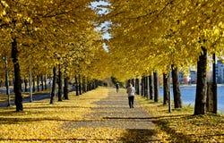Κίτρινος τα δέντρα από την αλέα στοκ φωτογραφίες με δικαίωμα ελεύθερης χρήσης