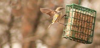 Κίτρινος τα φτερά συλβιών έξω στοκ εικόνες με δικαίωμα ελεύθερης χρήσης