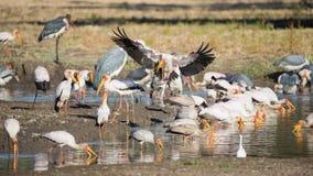 Κίτρινος-τιμολογημένοι πελαργός & x28 Mycteria ibis& x29  αλιεία Στοκ Εικόνες