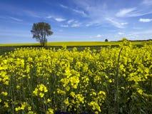 Κίτρινος τομέας βιασμών ελαιοσπόρων στοκ εικόνες με δικαίωμα ελεύθερης χρήσης