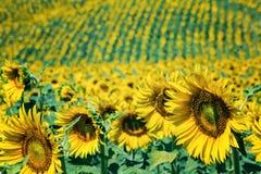Κίτρινος τομέας ηλίανθων σε μια ηλιόλουστη ημέρα Στοκ Εικόνες