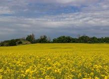 Κίτρινος τομέας μουστάρδας, άσπρα σύννεφα στον ουρανό Στοκ εικόνες με δικαίωμα ελεύθερης χρήσης