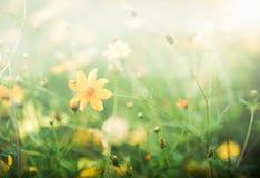 Κίτρινος τομέας λουλουδιών κόσμου, υπόβαθρο λουλουδιών Στοκ Εικόνες