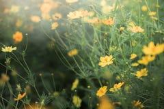 Κίτρινος τομέας λουλουδιών κόσμου, υπόβαθρο λουλουδιών Στοκ Φωτογραφία