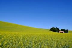 Κίτρινος τομέας λουλουδιών με το αγροτικό σπίτι Στοκ εικόνα με δικαίωμα ελεύθερης χρήσης