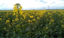 Κίτρινος τομέας λουλουδιών συναπόσπορων Στοκ εικόνες με δικαίωμα ελεύθερης χρήσης