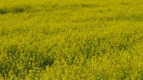 Κίτρινος τομέας συναπόσπορων ενάντια σε έναν μπλε ουρανό απόθεμα βίντεο