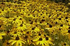 Κίτρινος τομέας Rudbeckia ένα αγγλικό καλοκαίρι Στοκ Εικόνα