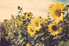 Κίτρινος τρύγος τομέων λιβαδιών ηλίανθων λουλουδιών αναδρομικός Στοκ Φωτογραφία