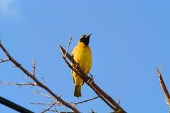 Κίτρινος υφαντής Στοκ εικόνες με δικαίωμα ελεύθερης χρήσης