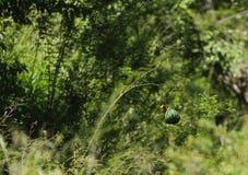 Κίτρινος υφαντής, Ploceidae, που χτίζει μια φωλιά, στοκ εικόνες