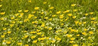 Κίτρινος-φλυτζάνια στοκ εικόνες