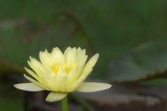 Κίτρινος λωτός με το φύλλο Στοκ Φωτογραφία