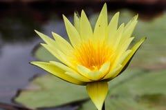Κίτρινος λωτός Στοκ εικόνα με δικαίωμα ελεύθερης χρήσης
