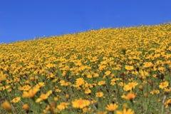 Κίτρινος λόφος λουλουδιών μαργαριτών Στοκ φωτογραφία με δικαίωμα ελεύθερης χρήσης