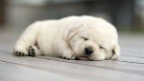 Κίτρινος ύπνος κουταβιών του Λαμπραντόρ στοκ φωτογραφία