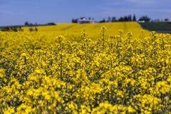 Κίτρινος canola ή τομέας και μπλε ουρανός βιασμών Τοπίο φύσης άνοιξη Στοκ φωτογραφία με δικαίωμα ελεύθερης χρήσης