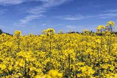 Κίτρινος canola ή τομέας και μπλε ουρανός βιασμών Τοπίο φύσης άνοιξη Στοκ εικόνα με δικαίωμα ελεύθερης χρήσης