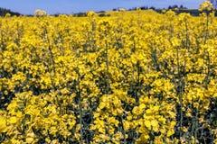 Κίτρινος canola ή τομέας και μπλε ουρανός βιασμών Τοπίο φύσης άνοιξη Στοκ Φωτογραφία