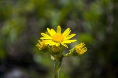 Κίτρινος chamomile Στοκ φωτογραφίες με δικαίωμα ελεύθερης χρήσης