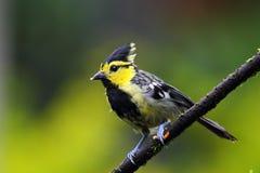 Κίτρινος-cheekd-κίτρινο Tit στοκ φωτογραφία με δικαίωμα ελεύθερης χρήσης