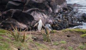 Κίτρινος-eyed penguin Νέα Ζηλανδία Στοκ Φωτογραφία