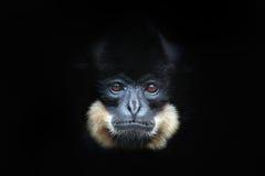 Κίτρινος-Gibbon, gabriellae Nomascus, πορτρέτο λεπτομέρειας του άγριου πιθήκου Άποψη τέχνης του όμορφου ζώου Σκοτεινό δασικό SCE  Στοκ Εικόνες