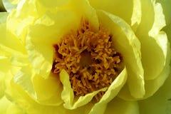 Κίτρινος peony στοκ φωτογραφία με δικαίωμα ελεύθερης χρήσης