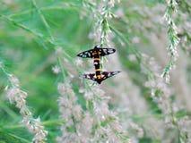 Κίτρινος-ringed σκώροι χλόης, sperbius Fabricius Amata ή τίγρη Γ Στοκ εικόνες με δικαίωμα ελεύθερης χρήσης