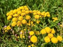 Κίτρινος tansy στη χλόη κήπων Στοκ φωτογραφίες με δικαίωμα ελεύθερης χρήσης