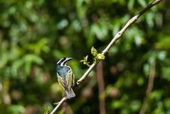 Κίτρινος-Tinkerbird στοκ εικόνα