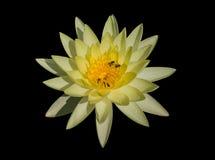 Κίτρινος waterlilly Στοκ Εικόνα