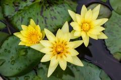 Κίτρινος waterlily ή άνθιση λουλουδιών λωτού Στοκ φωτογραφία με δικαίωμα ελεύθερης χρήσης