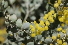 Κίτρινος-wattle-01 στοκ εικόνες