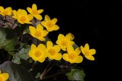 Κίτρινο άγριο διάστημα αντιγράφων λουλουδιών μαύρο Στοκ φωτογραφίες με δικαίωμα ελεύθερης χρήσης