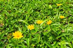 κίτρινο άγριο λουλούδι με το πράσινο φύλλο στην επαρχία Στοκ Εικόνες