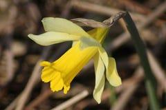 Κίτρινο άγριο daffodil Στοκ εικόνες με δικαίωμα ελεύθερης χρήσης