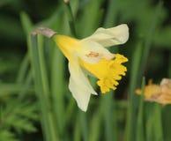 Κίτρινο άγριο daffodil Στοκ Εικόνες