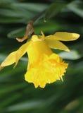 Κίτρινο άγριο daffodil Στοκ Φωτογραφίες