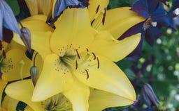 Κίτρινο άνθος λουλουδιών κρίνων στον κήπο Όμορφο φυσικό υπόβαθρο στη θερινή ημέρα Στοκ φωτογραφία με δικαίωμα ελεύθερης χρήσης