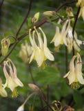 Κίτρινο άνθος λουλουδιών Columbine στοκ εικόνες με δικαίωμα ελεύθερης χρήσης